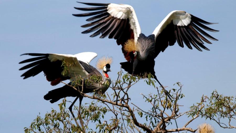 Ugandan Crane - Africa