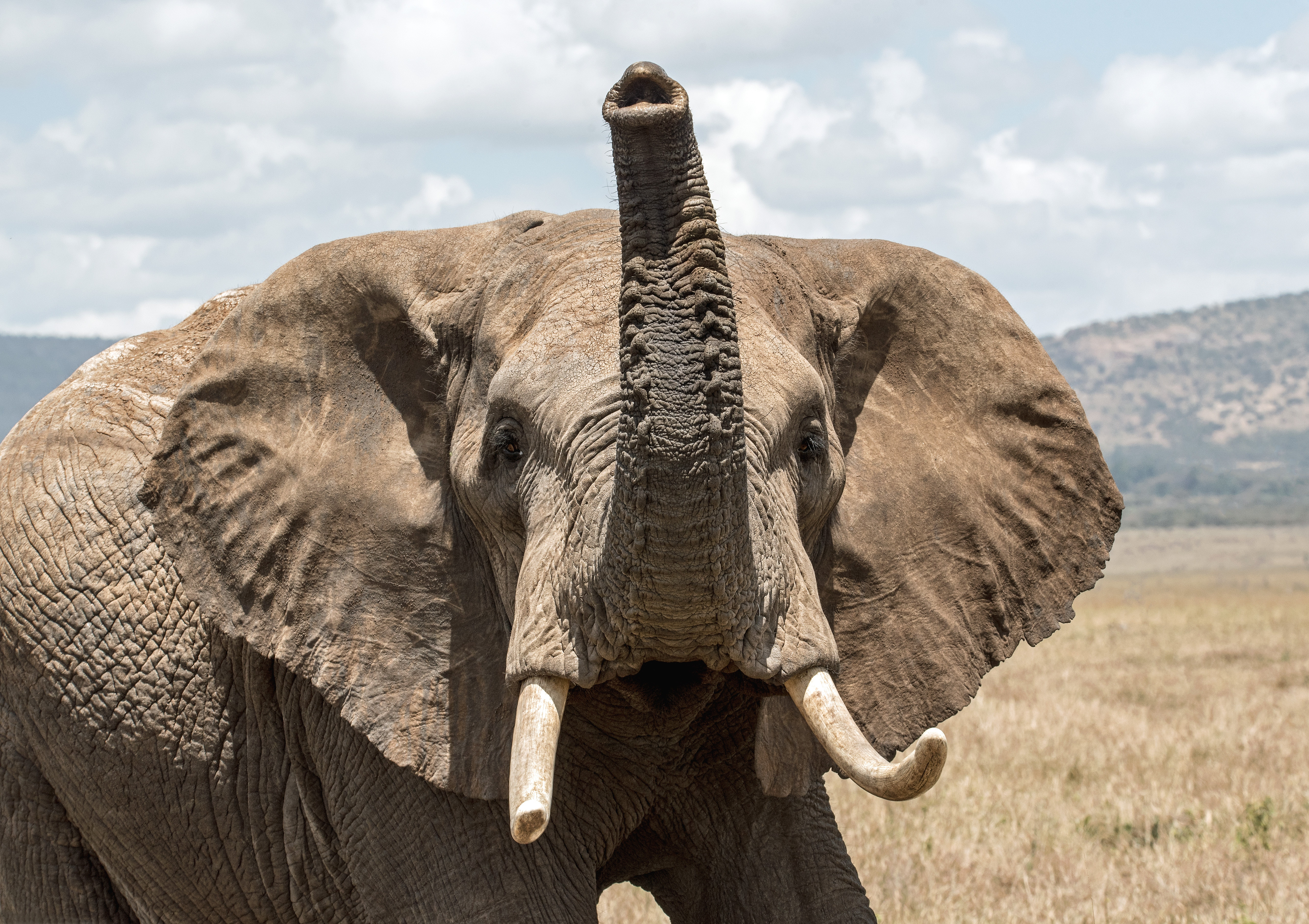 Elephant - affected by wildlife offences in Tanzania