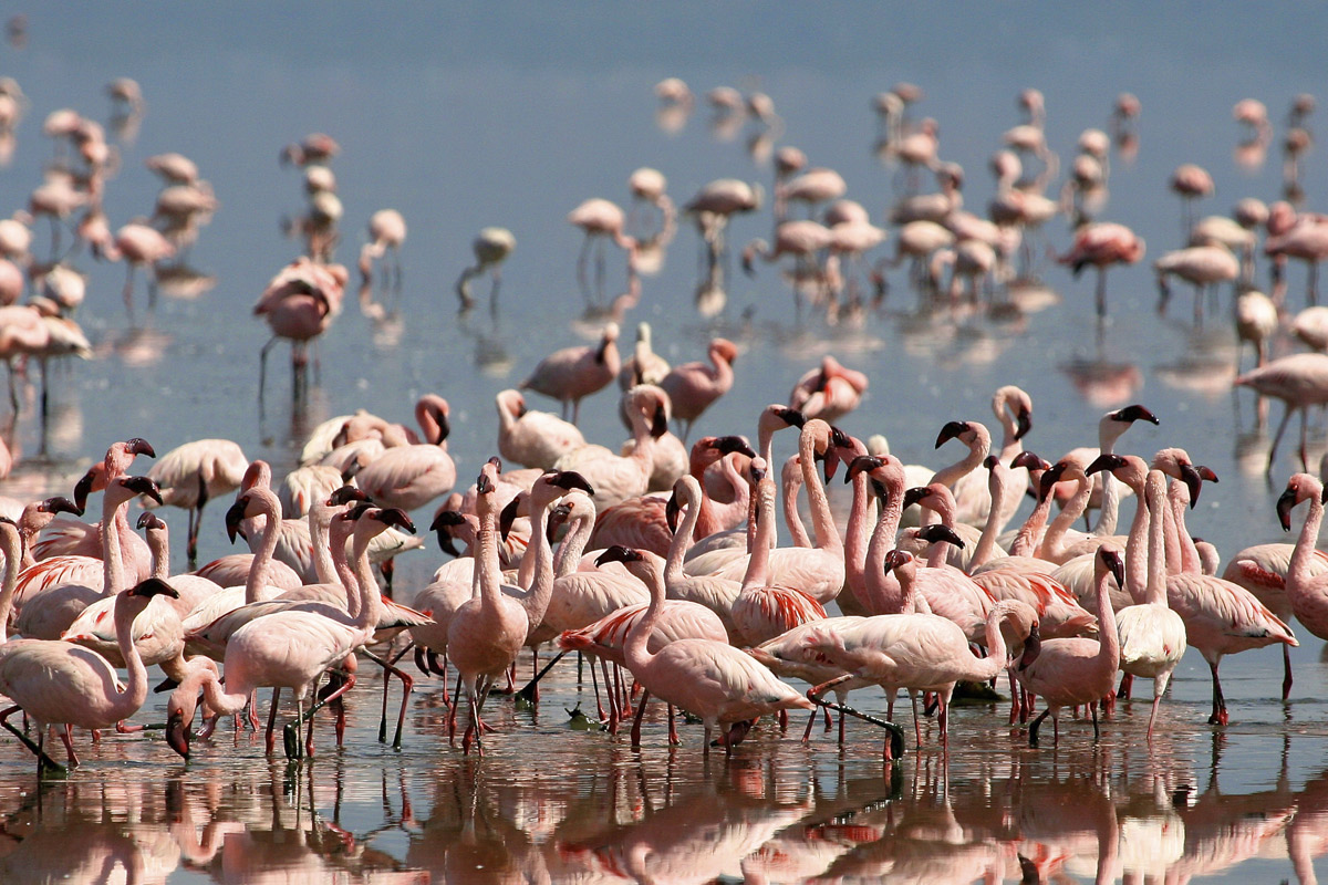 Flamingo - affected by wildlife offences in Tanzania